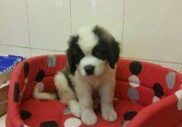 Saint Bernard dog- Αγιου Βερναρδου