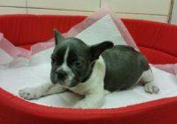 French Bulldog Blue-white