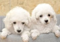 Poodle-Κανις mini white