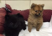 Pomeranian mini fox face ( Black & Red )
