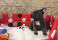 French Bulldog Blue