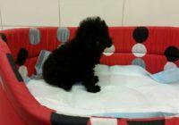 Poodle - Κανις black mini