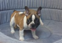 «French Bulldog»  Διαθέσιμα Φύλλα:  Θυληκο
