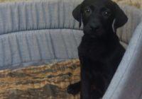 «Labrador μαυρο»  Διαθέσιμα Φύλλα:  Αρσενικο