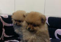 «Pomeranian toy»  Διαθέσιμα Φύλλα:  Αρσενικο- Θυληκο