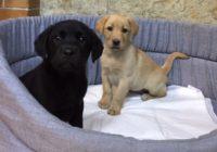 «Labradore»  Διαθέσιμα Φύλλα:  Αρσενικο - Θυληκο