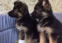 «German Shepherd»  Διαθέσιμα Φύλλα: Αρσενικο