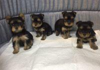 «Yorkshire Terrier»  Διαθέσιμα Φύλλα: Θυληκο