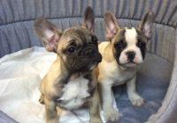«Fr. Bulldog »  Διαθέσιμα Φύλλα:  Αρσενικο (Λευκο-Μπεζ)