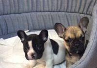 «Fr. Bulldog»  Διαθέσιμα Φύλλα:   Θυληκο (Λευκο-Μαυρο)