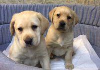 «Labrador»  Διαθέσιμα Φύλλα:  θυληκο