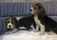 «Beagle»  Διαθέσιμα Φύλλα:  Θυληκο
