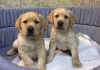 «Labrador»  Διαθέσιμα Φύλλα:  Αρσενικο