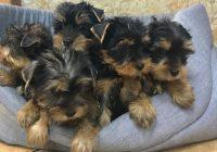 «Yorkshire terrier»  Διαθέσιμα Φύλλα:  Αρσενικο