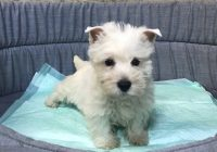 «Westhighland terrier»  Διαθέσιμα Φύλλα:  Αρσενικο