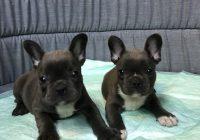 French Bulldog Blue: θυληκο