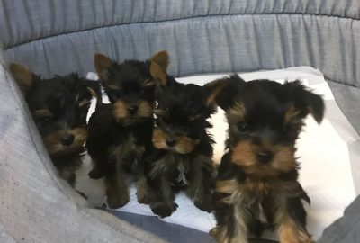 «Yorkshire Terrier»  Διαθέσιμα Φύλλα:  Αρσενικο- Θυληκο