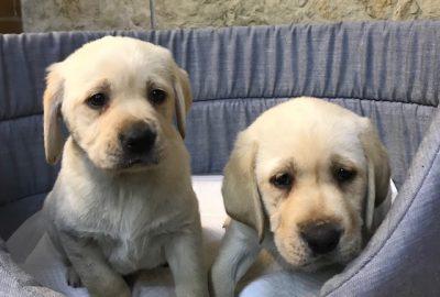 «Labrador »  Διαθέσιμα Φύλλα:  Αρσενικο- Θυληκο