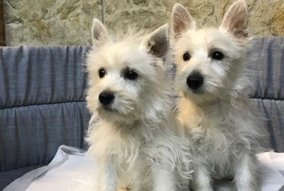 «Westhighland terrier»  Διαθέσιμα Φύλλα:  Θυληκο